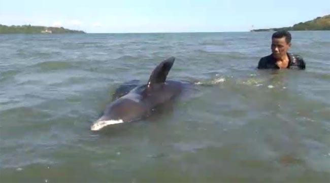 Gambar Lumba-lumba Terdampar di Pantai Sappoang, Polman