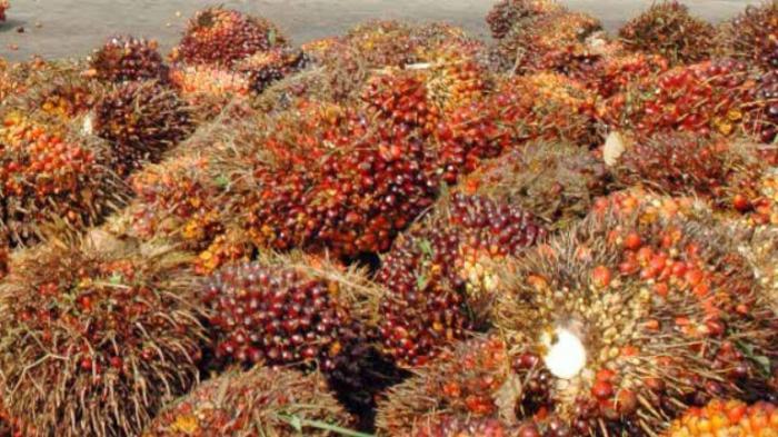 img Kebangkitan Kelapa Sawit Semakin Nyata, Harga CPO Per 12 November Naik Lagi
