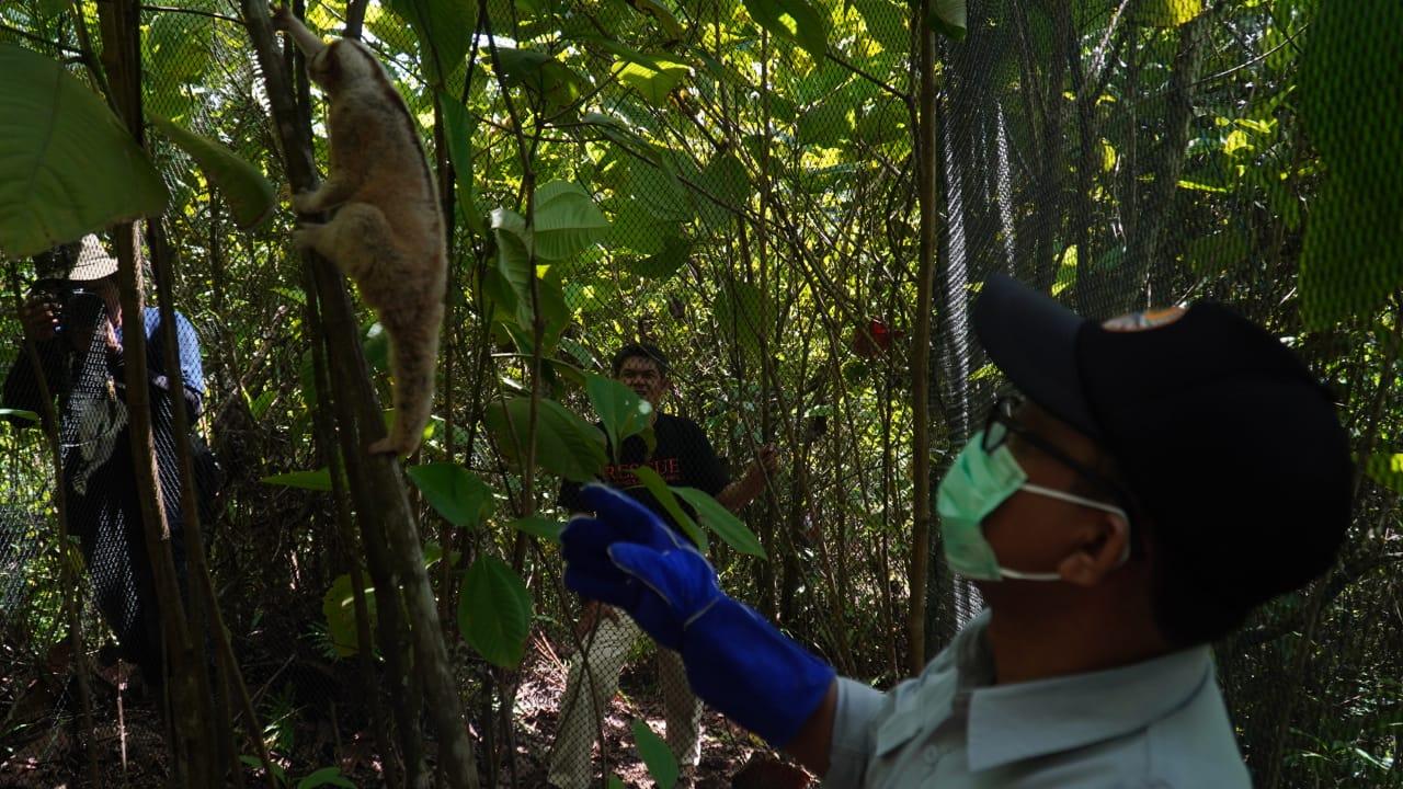 Gambar 30 Ekor Kukang Jawa Kembali Hidup Bebas di Hutan Gunung Halimun Salak