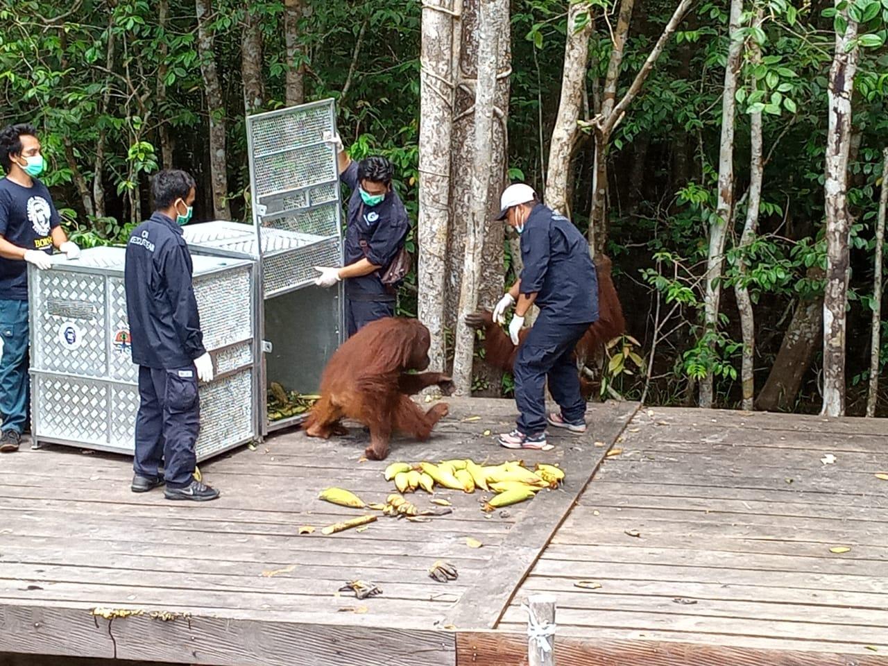 Tiga Ekor Orangutan Dilepas di Taman Nasional Tanjung Puting