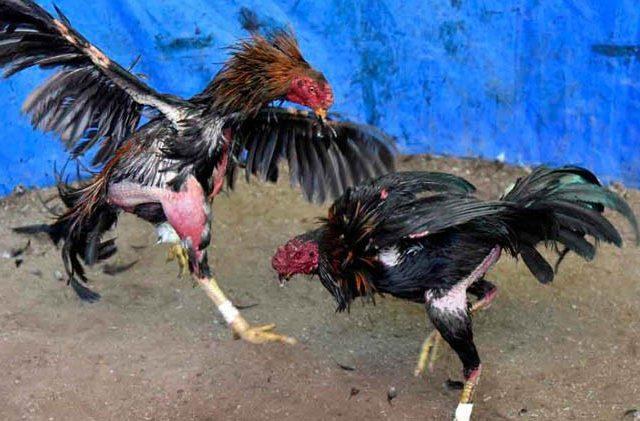 Polres Mamuju Utara Gerebek Arena Judi Sabung Ayam