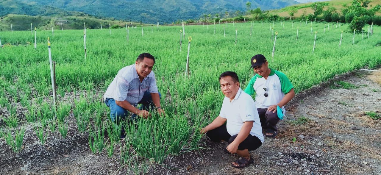 img Wabup Majene Tinjau Lahan Petani Bawang Merah