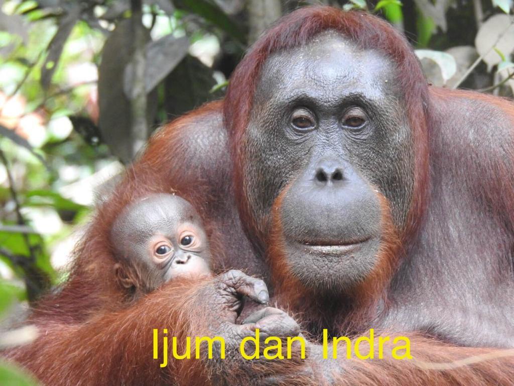 Gambar Orangutan Rehabilitasi Melahirkan Setelah Dilepasliarkan