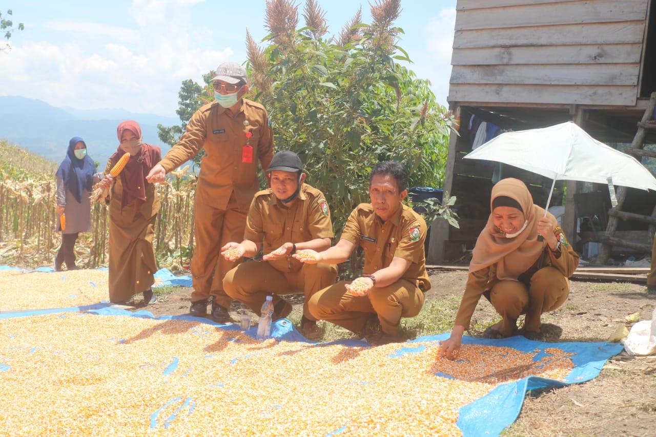 Gambar Poktan Poling Mandiri Desa Tubo Tengah Panen Jagung